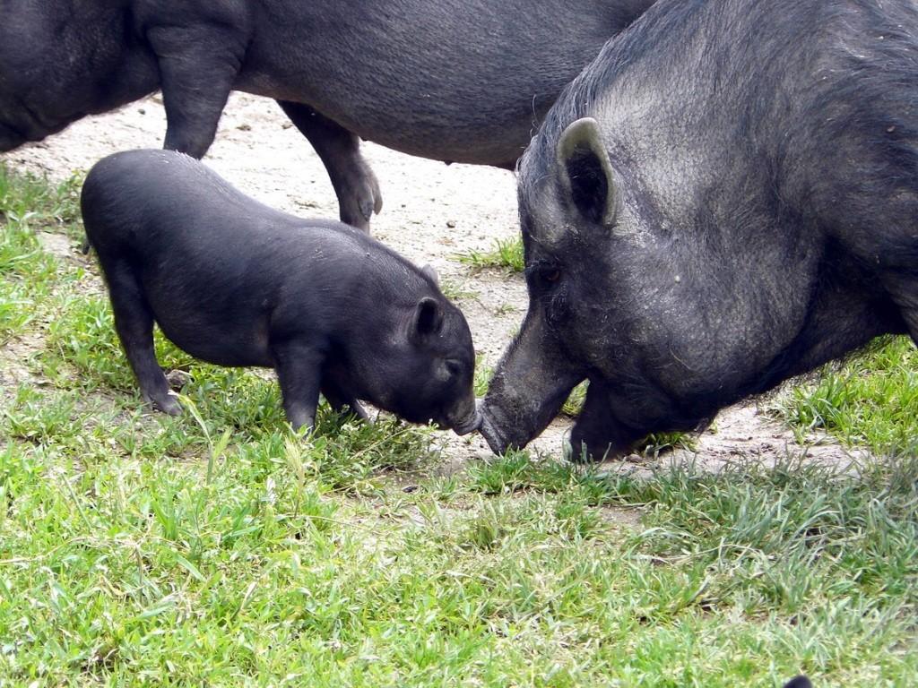 Crimea, Крым, свинки