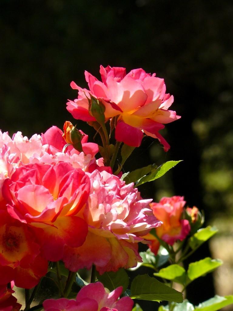 крым, crimea, кара даг, розы