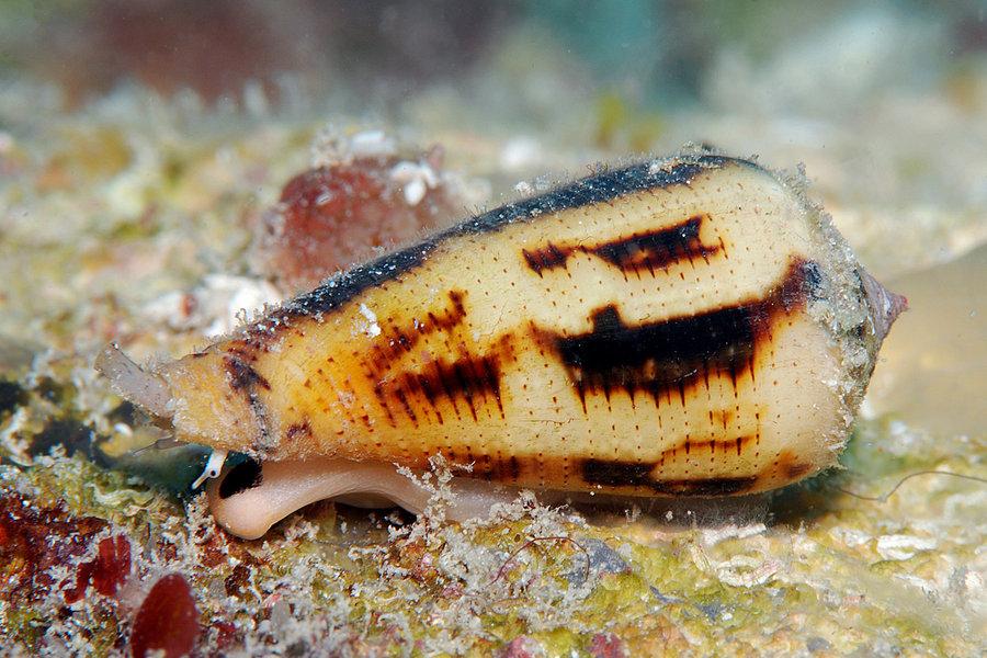австралия, Conus magus, ядовитая ракушка, ехать нельзя, страшные места,
