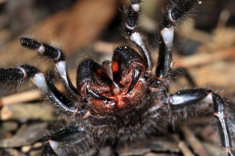 Автралия, паук, лейкопаутинный паук, ехать нельзя, страшные места, лейкопаутинный паук
