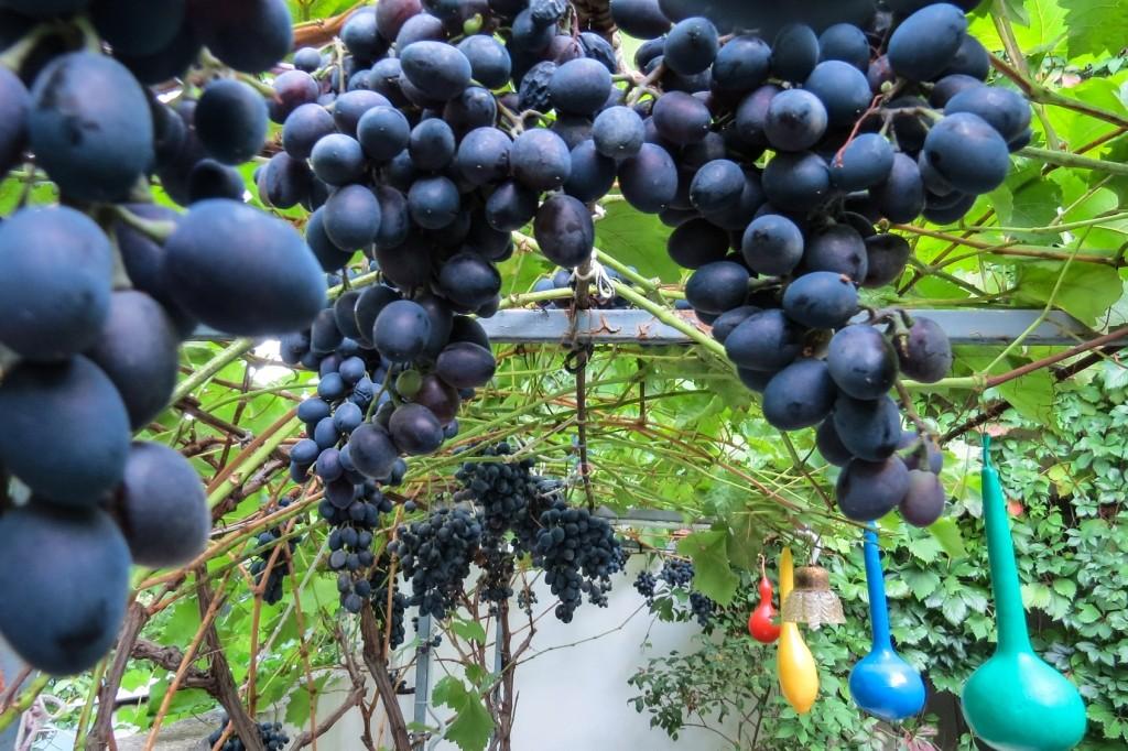 Крым, Курортное, виноград, цены в Крыму