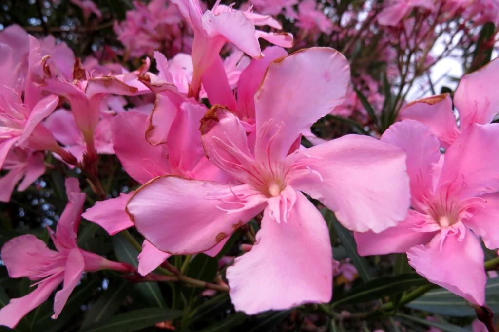 Абхазия, цветы