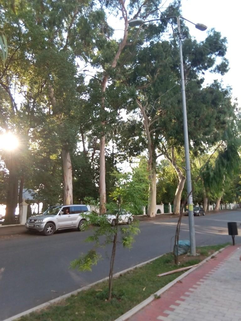 Абхазия, Гагра, эвкалипты, улица
