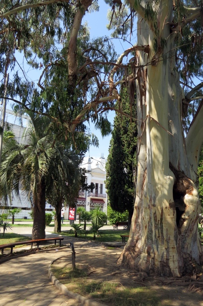 эвкалипт, Сухум, Абхазия, отдых в Абхазии, столица Абхазии, достопримечательности Абхазии, достопримечательности